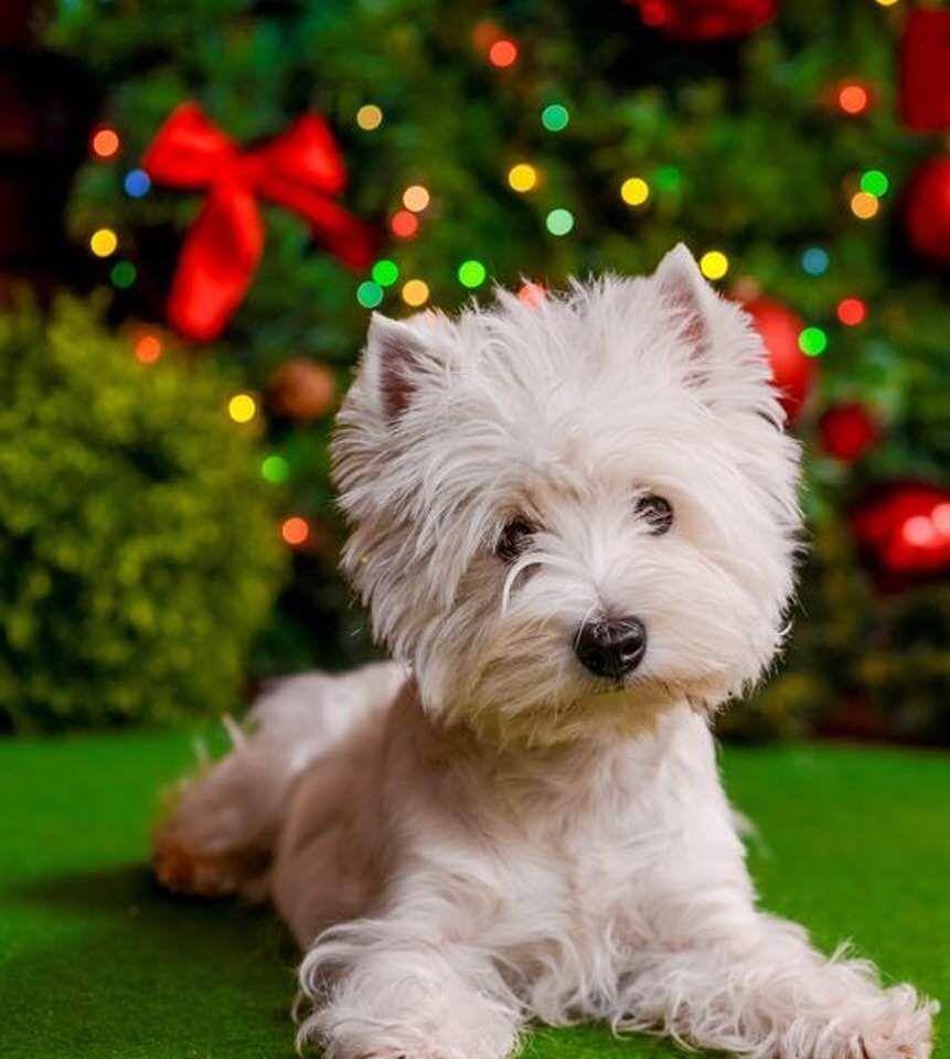 Westies Make Christmas Fun Westies Pinterest Westies - Dog obsessed with stuffed santa toy gets to meet her idol in real life