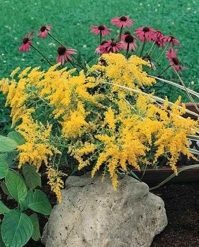 Golden Baby Goldenrod Golden Baby Goldenrod Is A Compact 2 Ft Tall Perennial That Bears Scads Of Flat Topped Perennials Pollinator Garden Flowers Perennials