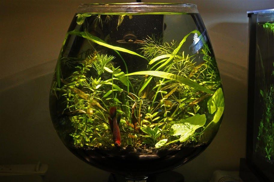 The walstad setup is establishing an aquarium ecosystem for Aquarium bocal