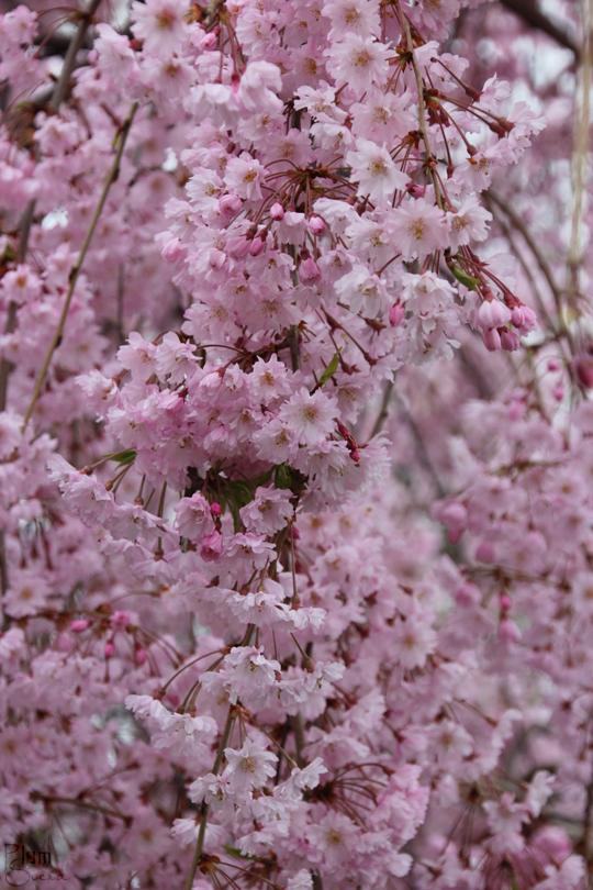 Anese Weeping Cherry Tree The Called A Shidarezakura Has Branches