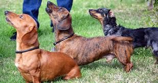 2nd Chance Dachshund Rescue A 501 C 3 Breed Specific Rescue