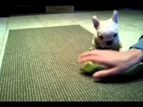 Top Bulldog Ball Adorable Dog - acfd39cb1e6353def3d8bd67ce8646c0  Photograph_131513  .jpg