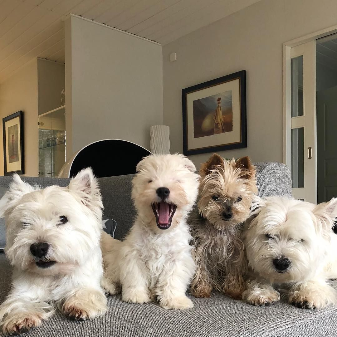Mr Vili Westie Boys On Instagram We Had A Day Of Cleaning Mom Moped The Floors Uuno Cheerful Westie Puppies Westies Cute Dogs