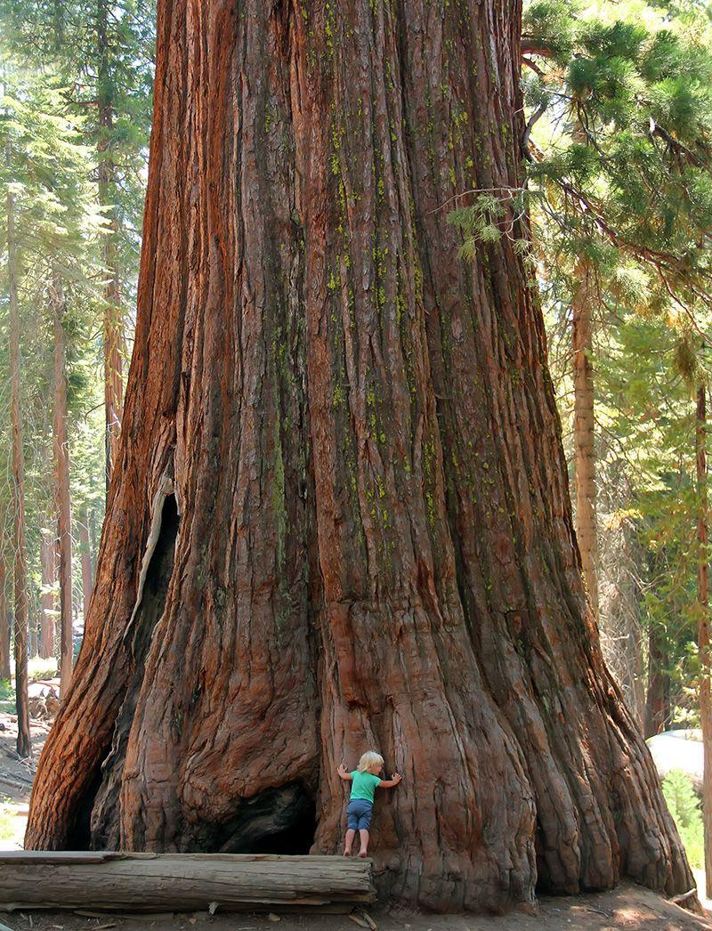 Giantischer Sequoia Baumstamm