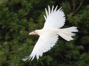 Albino White Crow Found In Ohda City Shimane Fukushima Diary White Crow Crow Black Bird