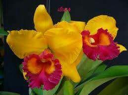 Blc Yen 24 Karat Cattleya Orchids Klairvoyant Orchids Thrissur Kerala Orchids Beautiful Orchids Orchid Plants