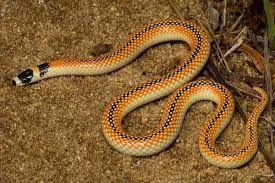 WA Black-striped snake