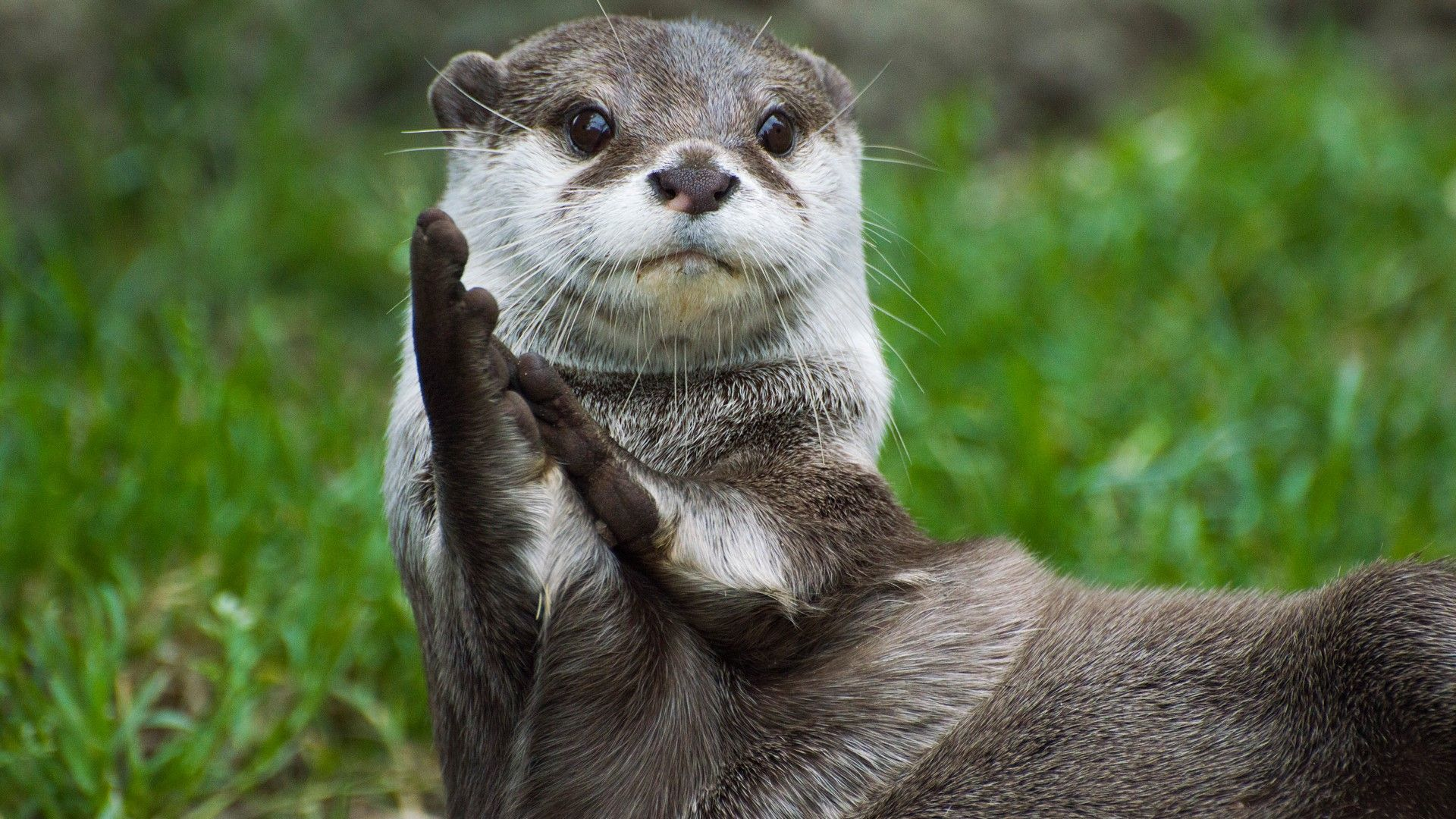 Asian smallclawed otter looking as though it's clapping