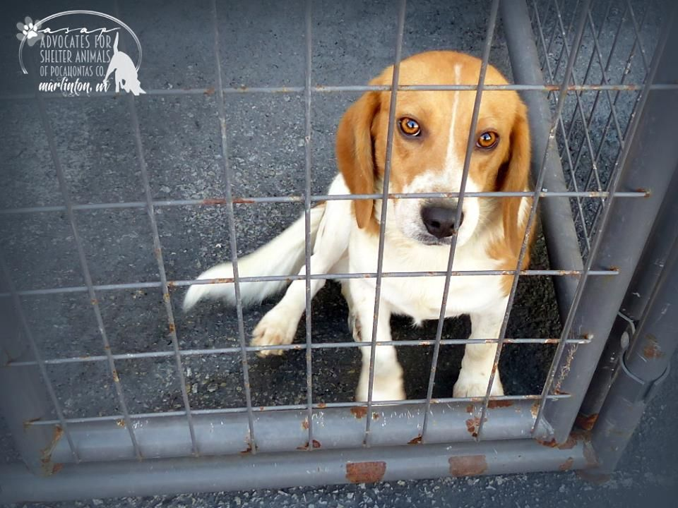 Rescued Clark 2 Yr Old Male Beagle Pocahontas Co Animal