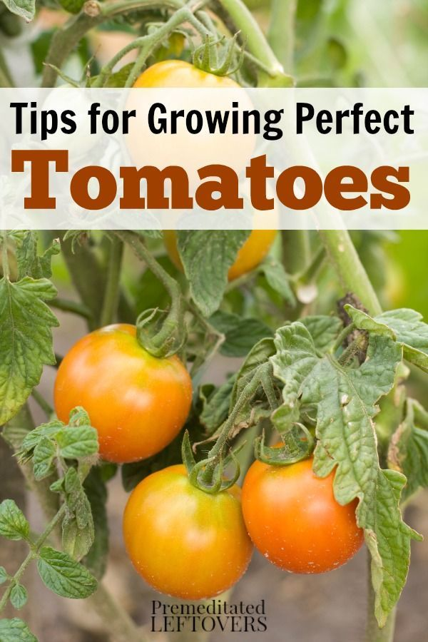 How To Grow Tomatoes In Your Garden Gardening Tips For Growing