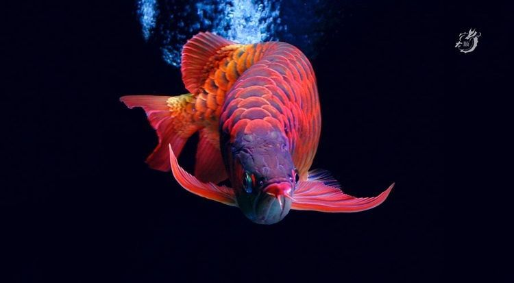 Aquatictimes Endless List Of Aquatic Creatures I D Love To Keep 26 Scleropages Formosus Aka Asian Arowana Also Known As The Dragon Fish Ikan Lukisan
