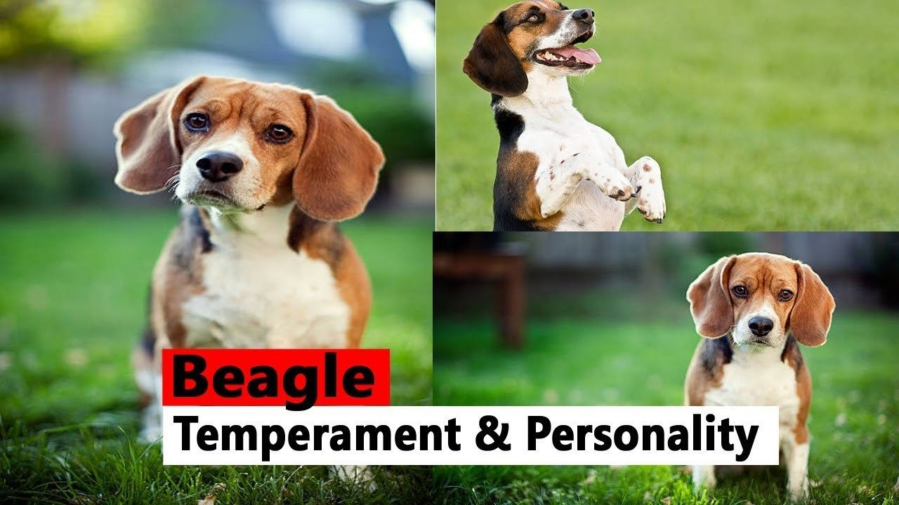 Beagle Facts Beagle Temperament Beagle Temperament Beagle