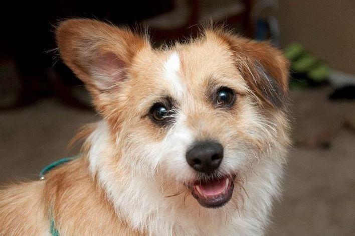 Chewy The Pembroke Welsh Corgi Jack Russell Terrier Mix On Puppystream Me Terrier Mix Corgi Pembroke Welsh Corgi