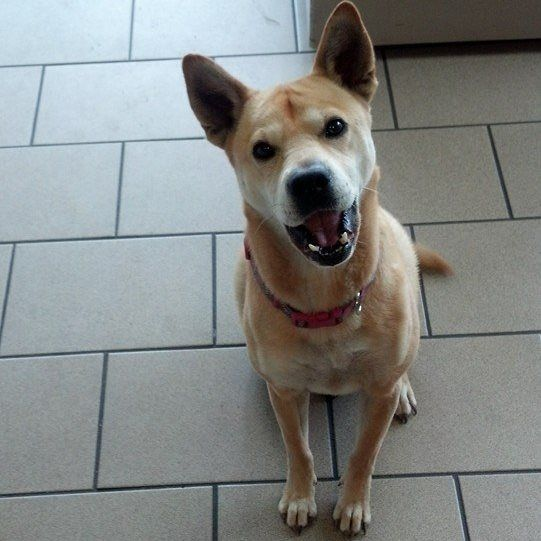 Lost in West Palm Beach on 5/30/14 Shiba Inu Mix named