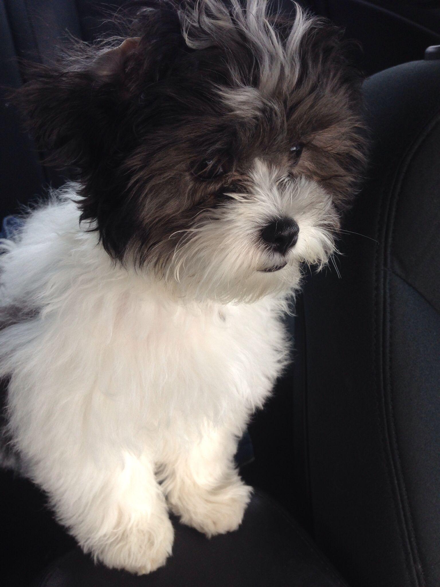 My Beautiful Malshipoo Puppies Cute Animals Cutest Puppy Ever