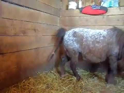 mini mare foaling