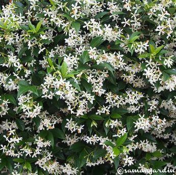la championne des plantes grimpantes le faux jasmin ou jasmin toil ou trachelospermum. Black Bedroom Furniture Sets. Home Design Ideas
