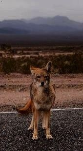 from National Geographic Shot Lonely Coyote in Death Vall Facts about Coyotes from National Geographic Shot Lonely Coyote in Death VallFacts about Coyotes from National G...