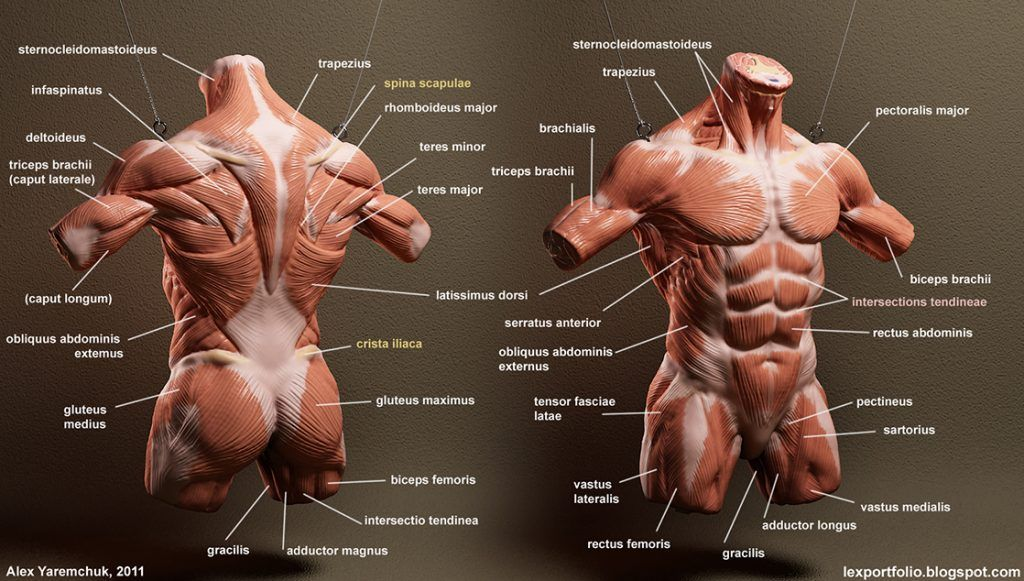 Male Torso Muscle Diagram - Complete Wiring Diagrams •