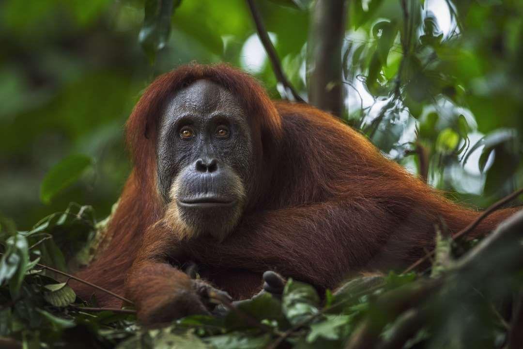 10. Sumatran Orangutan (Pongo abelii) - Fiona Rogers/Getty Images