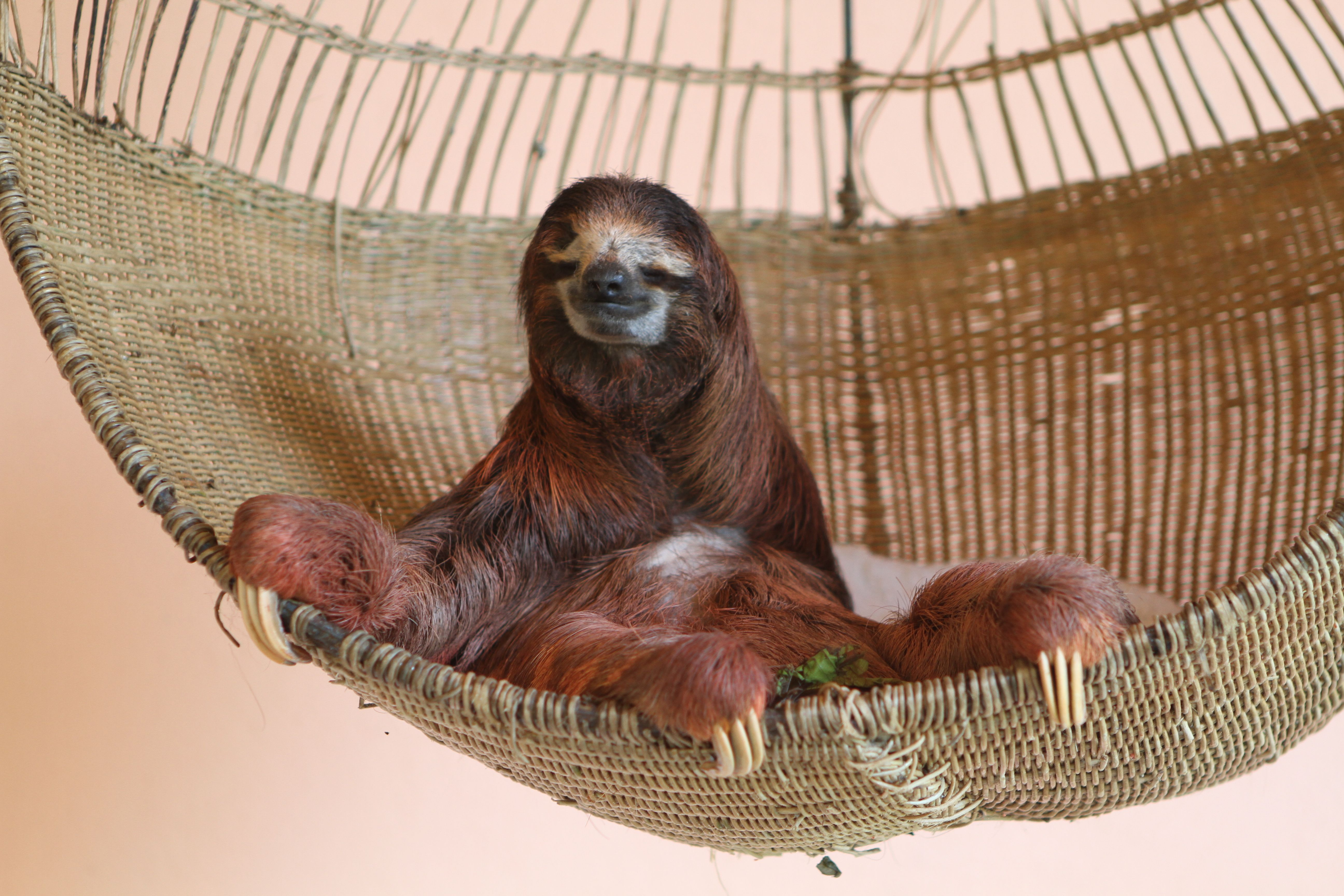 The Ninja Sloth Image