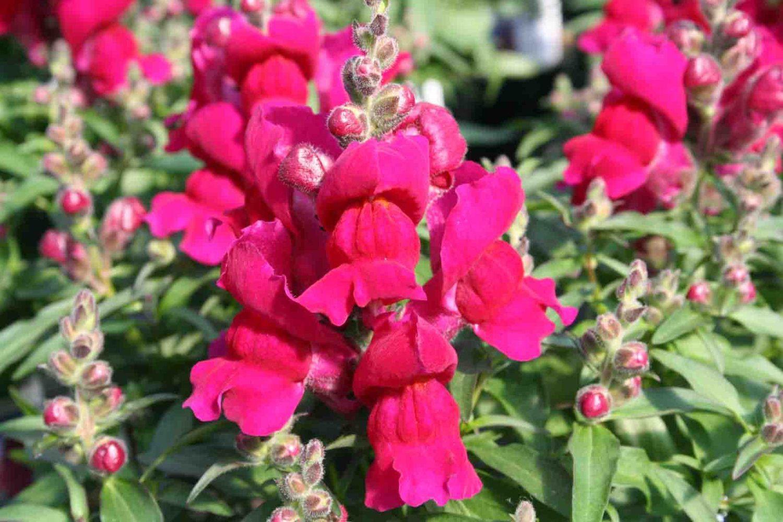 Snapdragon Seeds Montego Rose Bloom all Summer