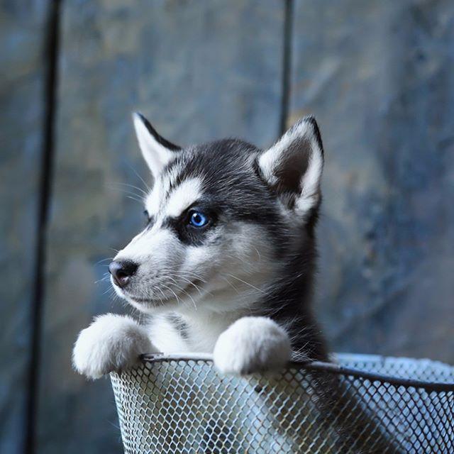 Blue Eyed Husky Puppy Persiancateyes Blue Eyed Husky Puppy Husky Puppy Husky With Blue Eyes