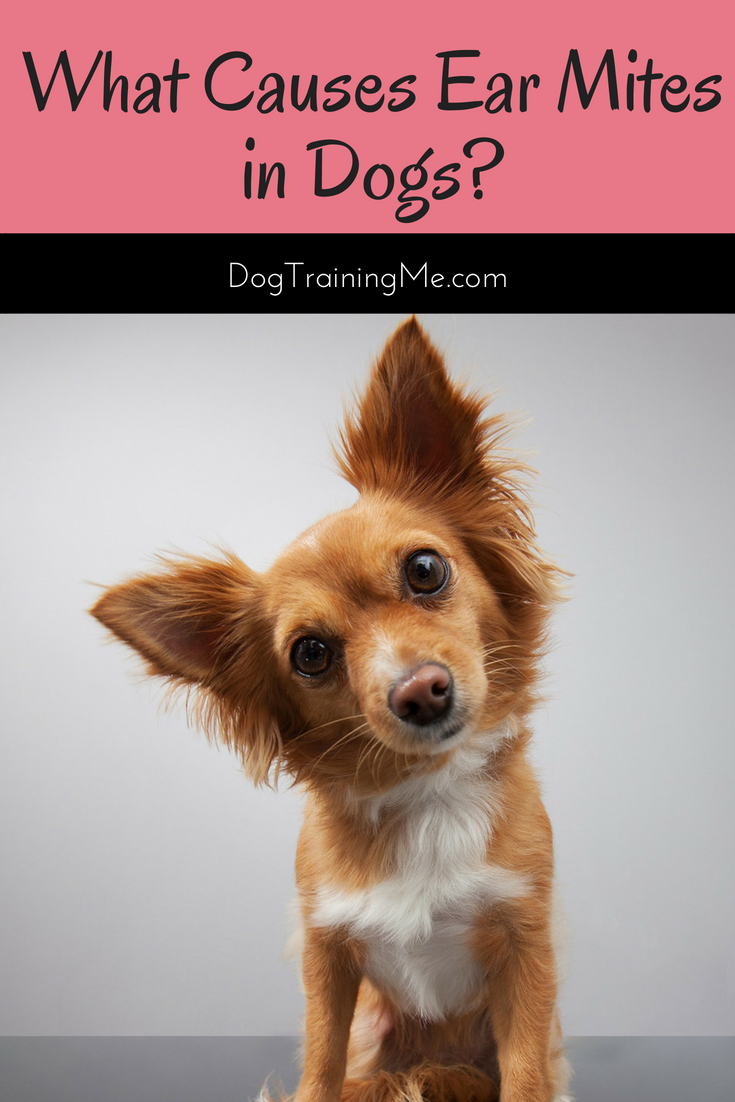 What Causes Ear Mites In Dogs Find Out What Signs And Symptoms To Look For In Your Dog And Learn How To Treat Ear Mites I Dog Ear Mites Dogs Training