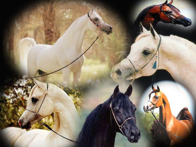 صور خيول اجمل صور خيول صور خيول عربية اصيلة حصان اصيل منتديات حلم العرب Horses Work Horses Animals