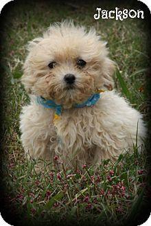 Cranford Nj Shih Tzu Poodle Miniature Mix Meet Jackson A Puppy For Adoption So Cute Want Puppy Adoption Shih Tzu Shih Tzu Poodle