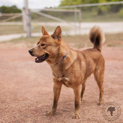 04 30 15 Red Is Our Chow Blue Heeler Mix Sterilized Male That Is