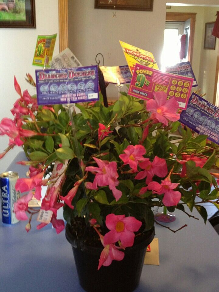 Scratgh Ticket Idea. Attach individual  scratch tickets onto  a plant with florest card holder plastic sticks, you choose the demonitation and how many scratch tickets... Great Mothers Day Idea or Any occasion with a plant or flower bouquet.