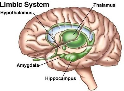 4 Main Brain Parts and Their Functions Explained! | Limbic ...