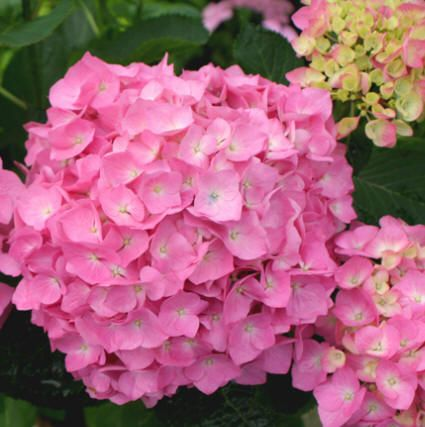 Okay Trying Not To Get Carried Away But I Find These So Very Beautiful Pink Hydrangea Pink Flowers Beautiful Flowers