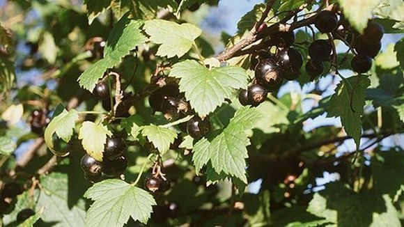 Louhisaaren juoma (svartvinbärsblad)