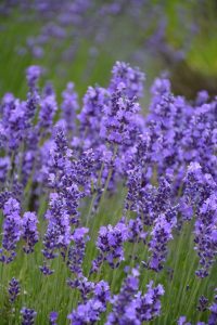 نبات بحرف ض مجموعة متنوعة ما بين النباتات العطرية والصحراوية بالصور إيمدج عرب Lavender Garden Low Water Gardening Plant Finder