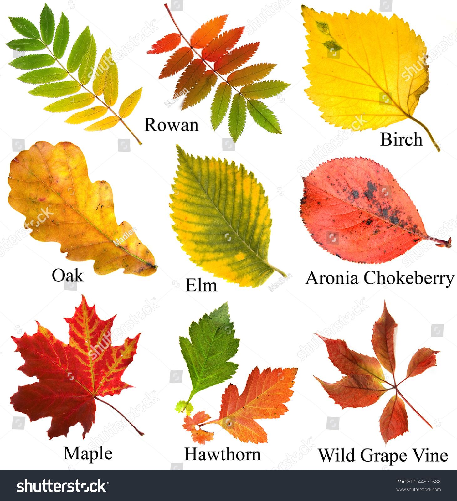 Collection Set Of Beautiful Colored Autumn Leaves With