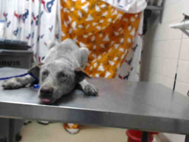 OLIVIA - ID#A470717 - URGENT - Harris County Animal Shelter in Houston, Texas - ADOPT OR FOSTER - I have a rescue group interested in me - 10 MONTH OLD Female Australian Cattle Dog mix - at the shelter since Oct 19, 2016.