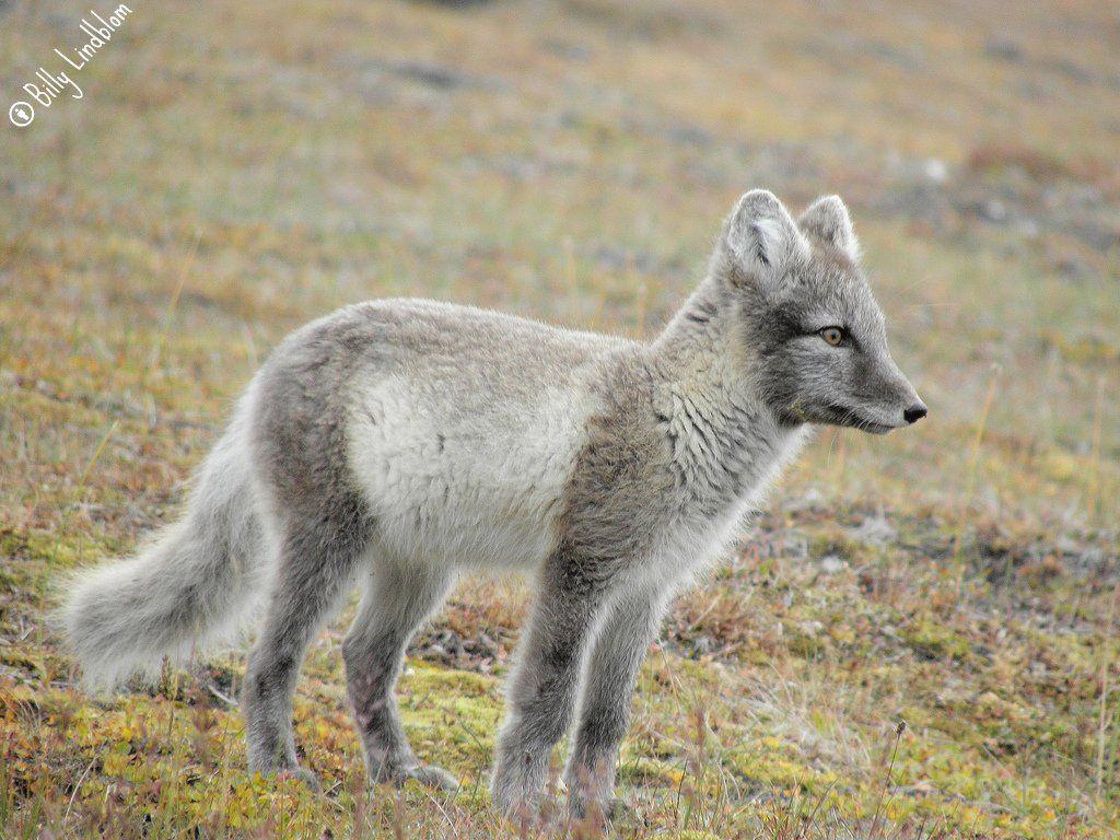 روباهی که موهایش تغییر رنگ میدهد ؛ روباه شمالی Arctic