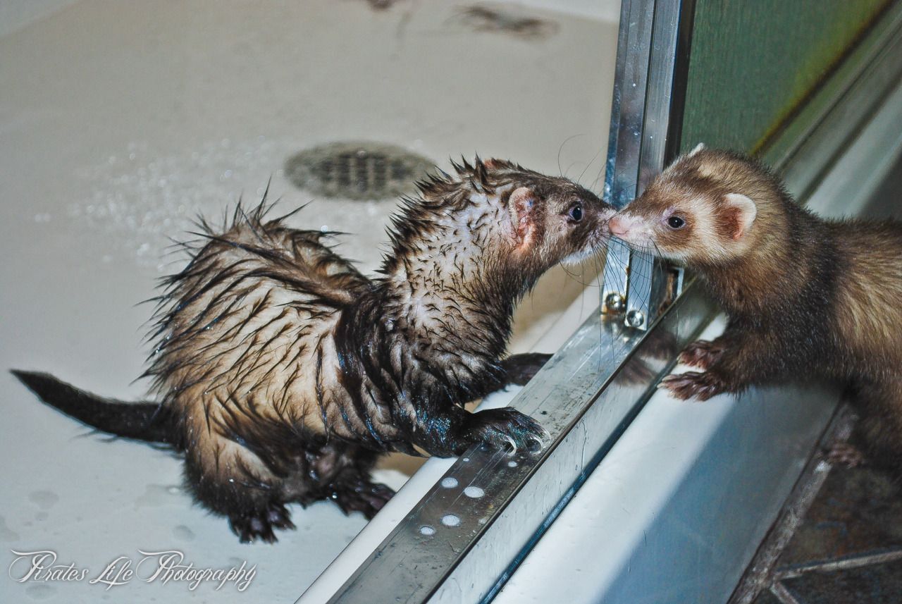 Mookipooki Mooki Just Getting Out Of The Shower And Pooki Checking Him Out Ferret Ferret Pet Store Lil Monster