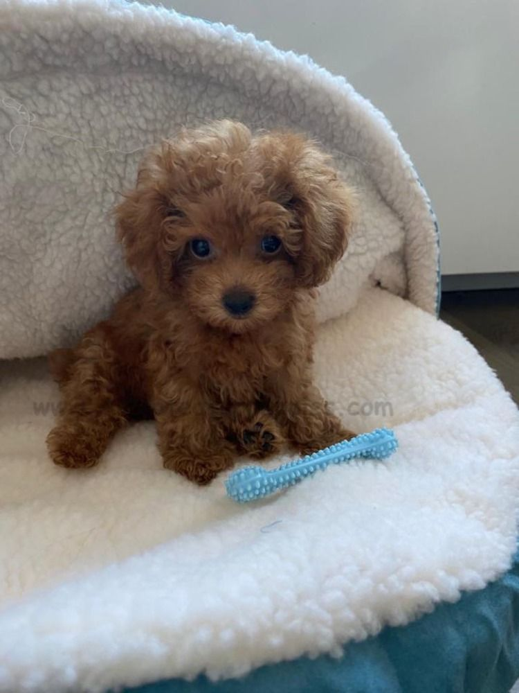 Thanks For Review Https Www Alohateacuppuppies Com Teacuppuppies Teacuppuppy Teacupmaltese In 2020 Teacup Puppies Teacup Puppies For Sale Cute Dogs