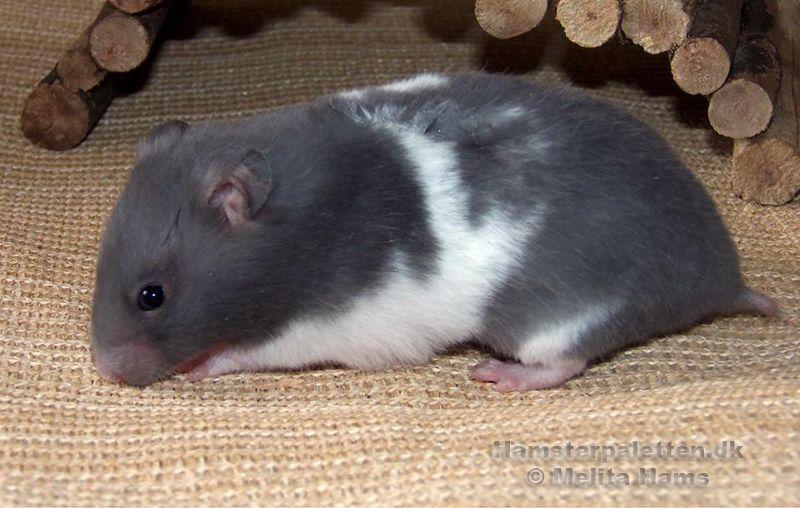 Blue Umbrous Banded Sh Hamster Aaddu Ba L Cute Hamsters