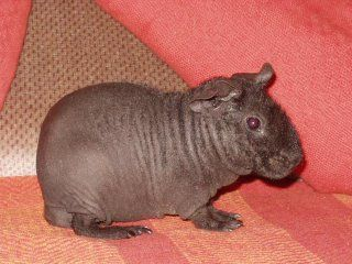This is a hairless guinea pig , not baby hippo.. it looks just like the animal in the picture people say is a baby hippo.. baby hippos are way cuter!