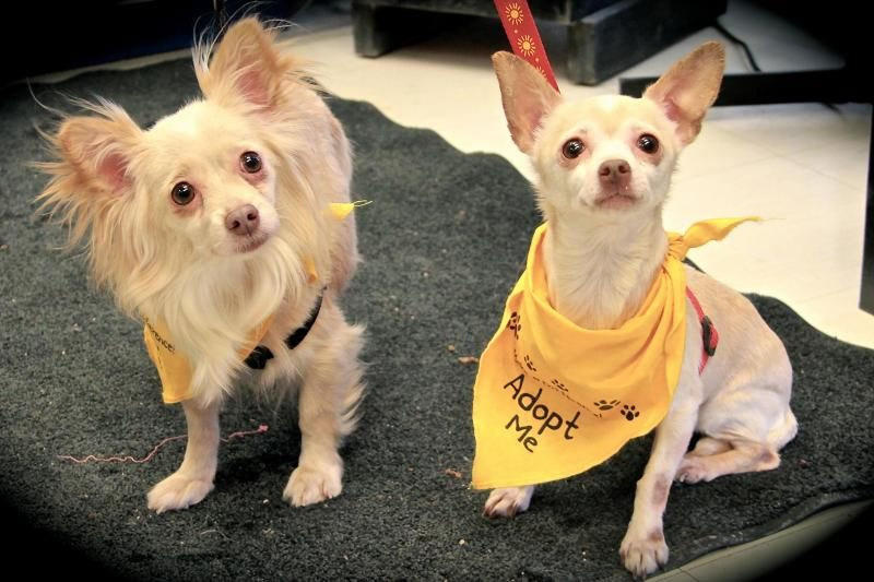 Adopt Lolly On Chihuahua Chihuahua Love Border Collie Rescue