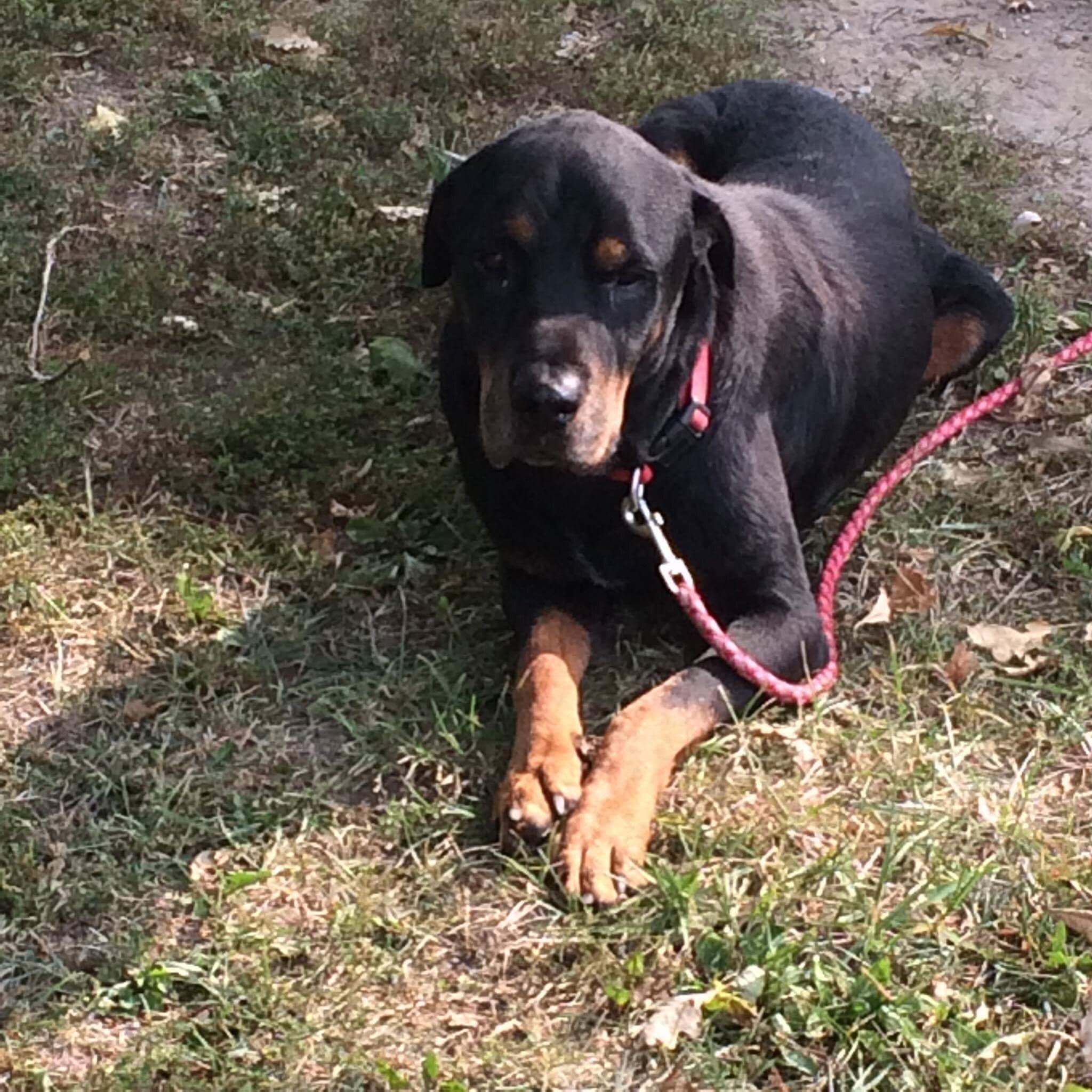 Rottweiler dog for Adoption in Portland, IN. ADN673494 on