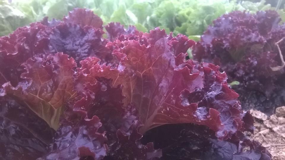 indas alfaces roxas orgânicas!