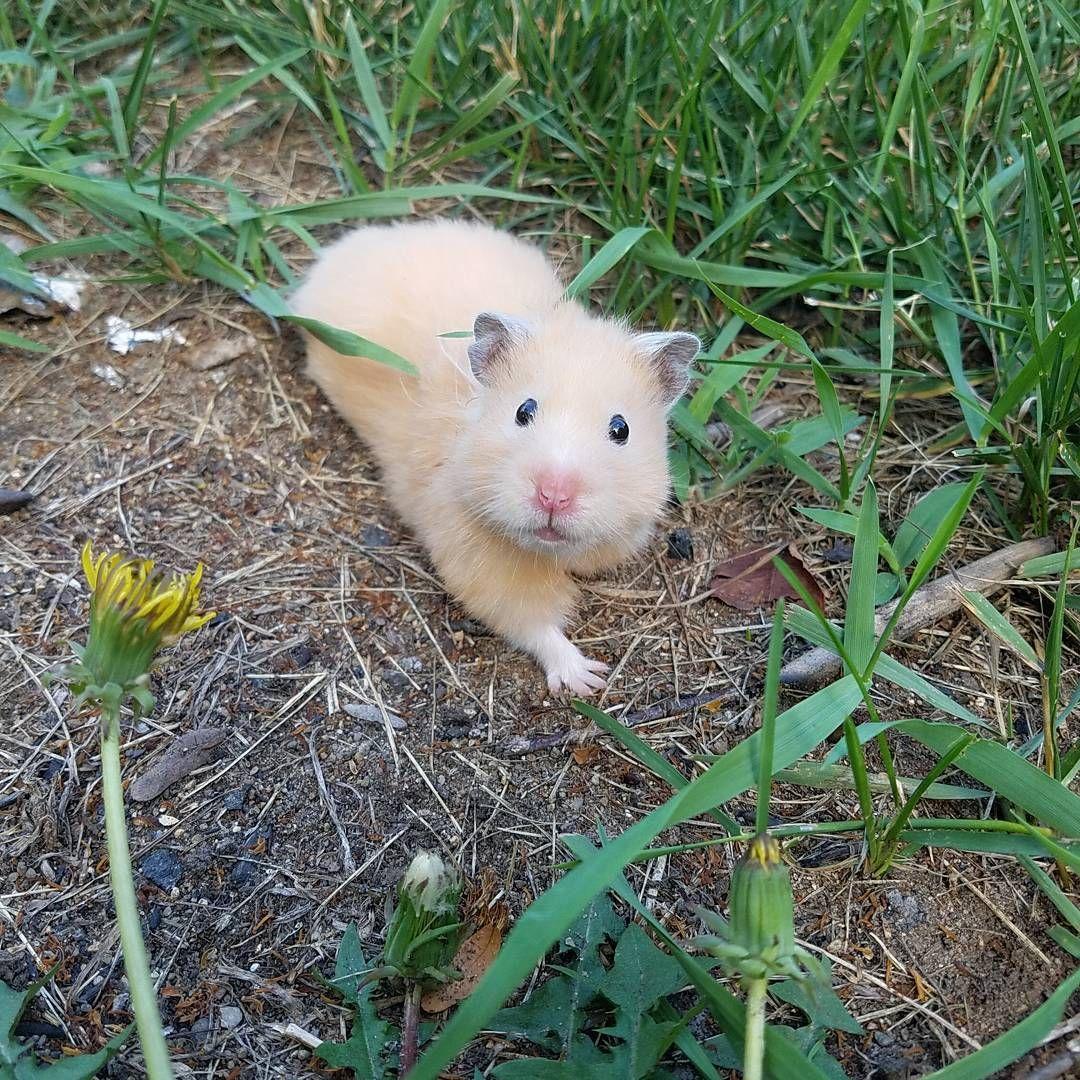 All About Syrian Teddy Bear Hamster Bear Hamster Hamsters As