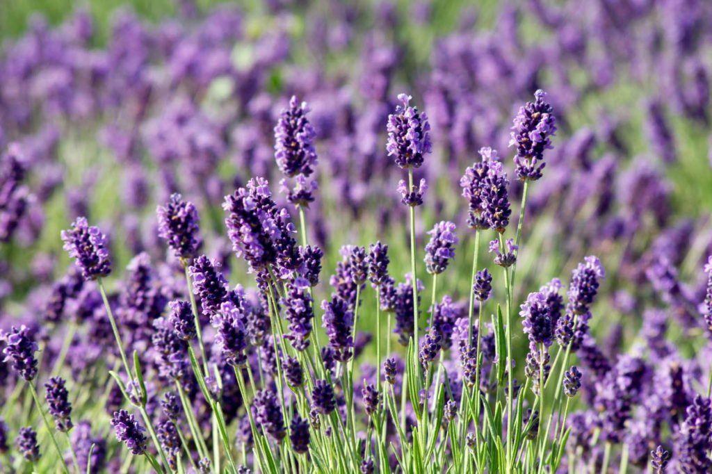 Pflanzen Gegen Fliegen Lavendel Tomaten Co Plantura Lavendel Pflanzen Garten Lavendel Lavendel