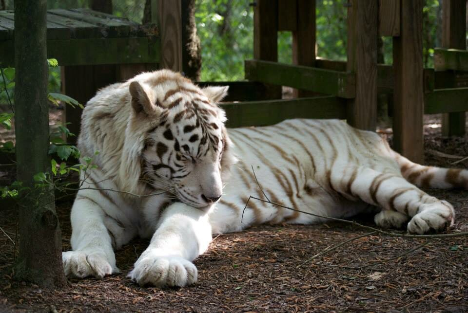 Pin by NC Bed & Breakfast Inns on Carolina Tiger Rescue