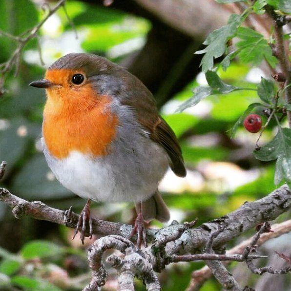 Robin On The Banks Of Derwentwater Birds Birdsofinstagram Autumnwatch Lovethelakes Lakedistrict Keswick Autumn Robin Bird